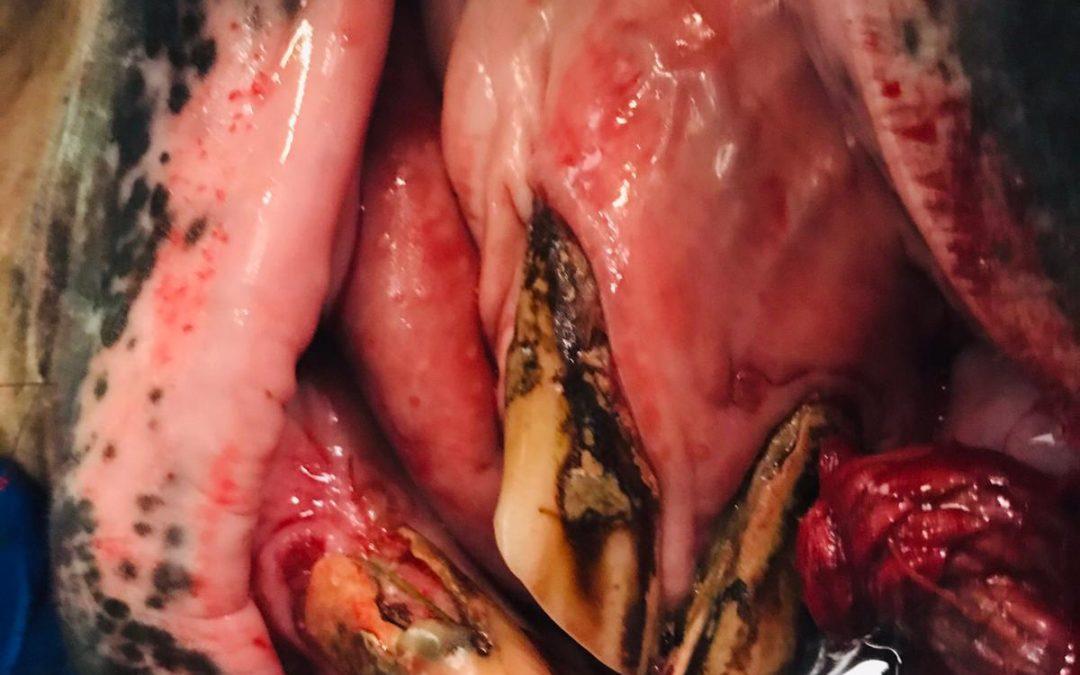 EOTRH – kranke Zähne beim Pferd